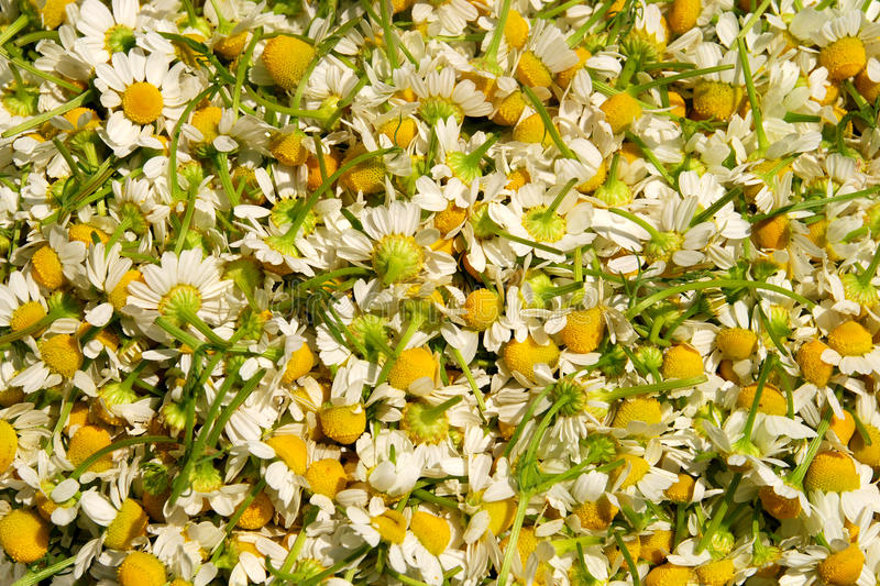Download Picked chamomile stock image. Image of health, camomile - 19784063