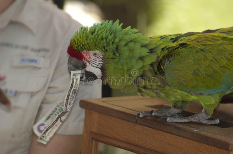 Pickels som en stor grön militär papegoja hjälper med försöken för LAzoobeskydd fotografering för bildbyråer