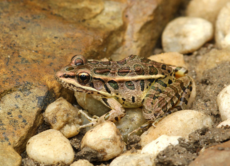 Pickerel Frog. Closeup of pickerel frog on rocks royalty free stock photos