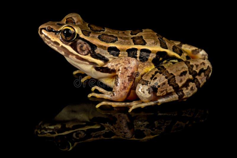 Pickerel-Frosch-Studio-Porträt lizenzfreies stockbild
