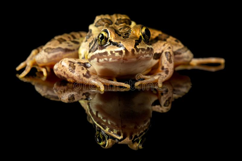 Pickerel-Frosch-Studio-Porträt lizenzfreies stockfoto