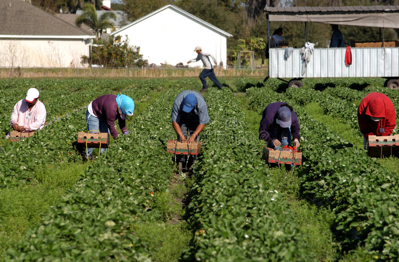 pickerjordgubbearbetare fotografering för bildbyråer