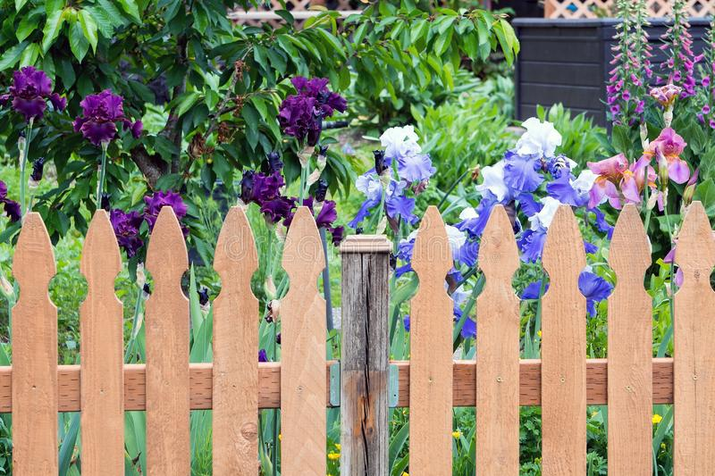 Picket Fence by Colorful Iris Flowers in Backyard Garden. Wood Picket Fence in backyard garden with colorful Iris flowers in bloom during spring season royalty free stock image