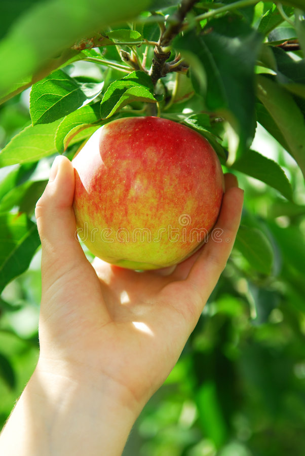 Download Picking an apple stock photo. Image of green, farm, branches - 3067828