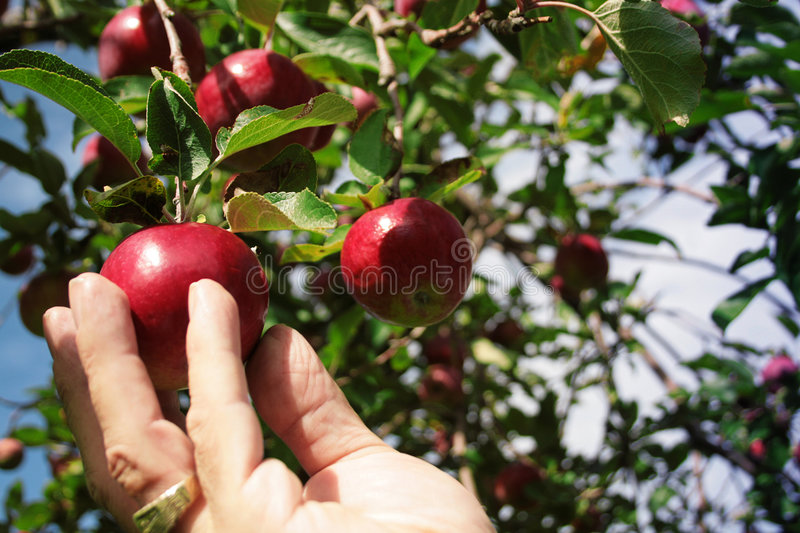 Picking an apple royalty free stock photography