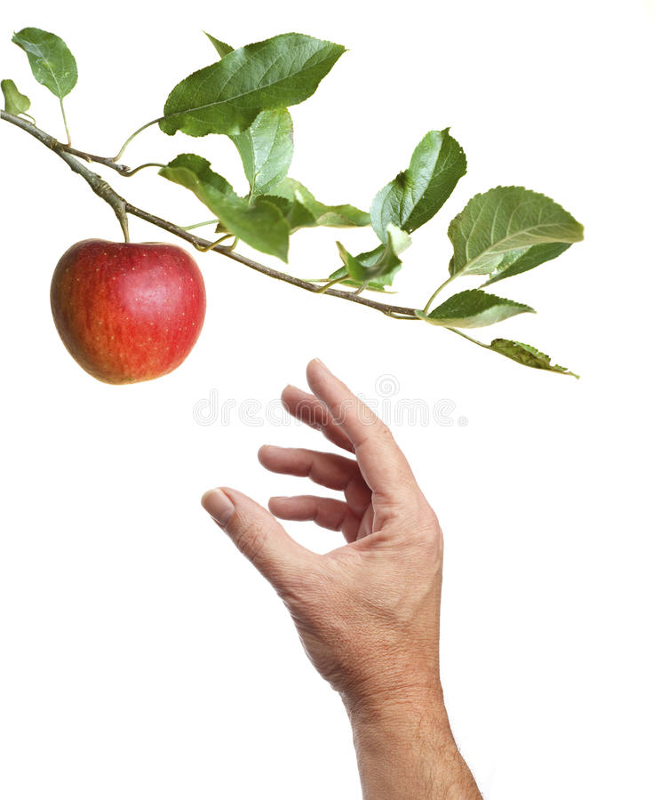 Picking an apple from a tree royalty free stock images
