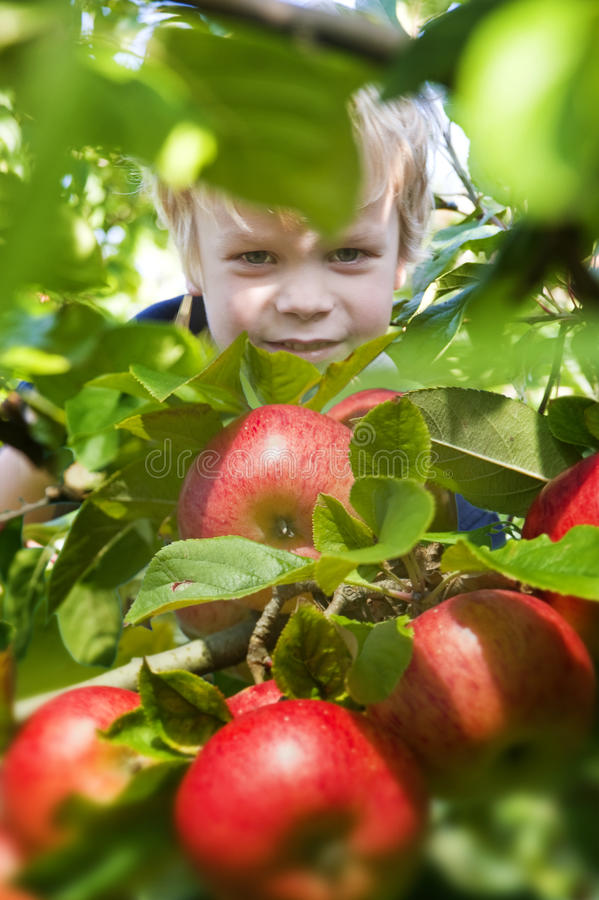 Picking apples royalty free stock photography