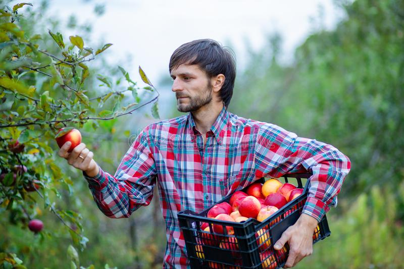 Picking apples. A man with a full basket of red apples in the garden stock photography