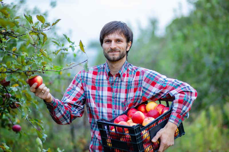 Picking apples. A man with a full basket of red apples in the garden stock photos