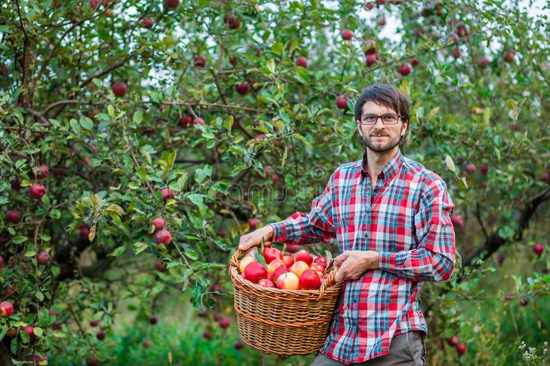 Picking apples. A man with a full basket of red apples in the garden royalty free stock photo