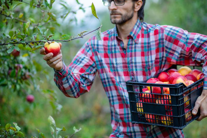 Picking apples. A man with a full basket of red apples in the garden stock images