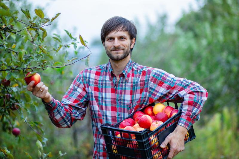 Picking apples. A man with a full basket of red apples in the garden royalty free stock photography
