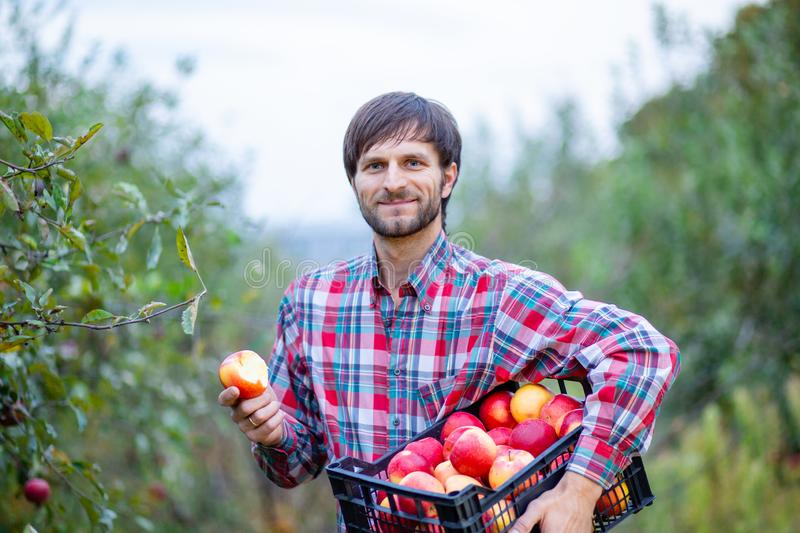 Picking apples. A man with a full basket of red apples in the garden royalty free stock photos