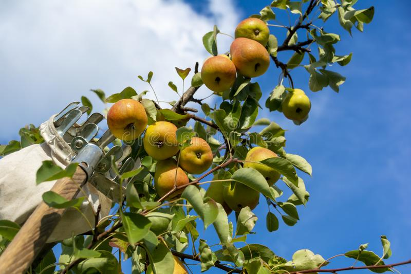 Picking apples and pears in the garden with hand tools. The concept of harvest and fruit collection with fruit trees.  royalty free stock photo