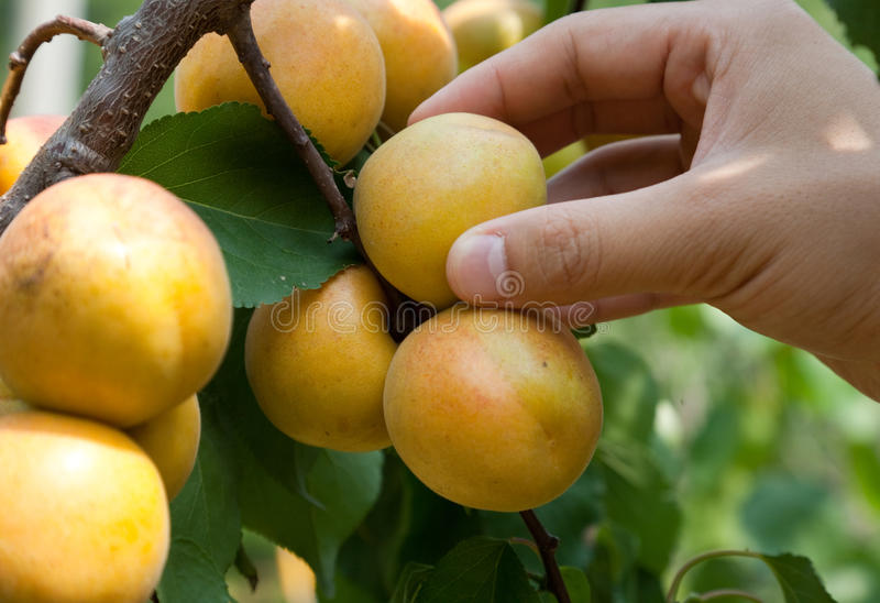 Picking apricots royalty free stock photos