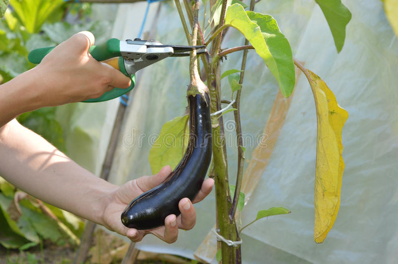 Picking aubergine. Hand picking a ripe aubergine from a plant stock photo