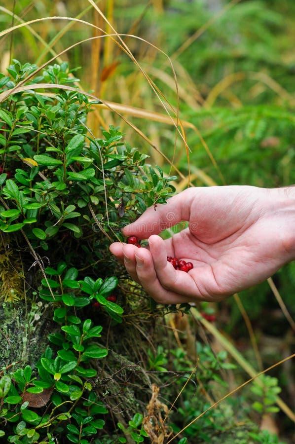 Picking berries stock photo