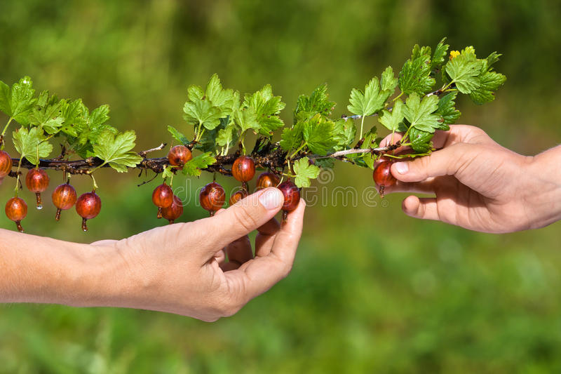 Picking berries of gooseberry. Hands picking ripe red berries of gooseberry in the garden stock photo