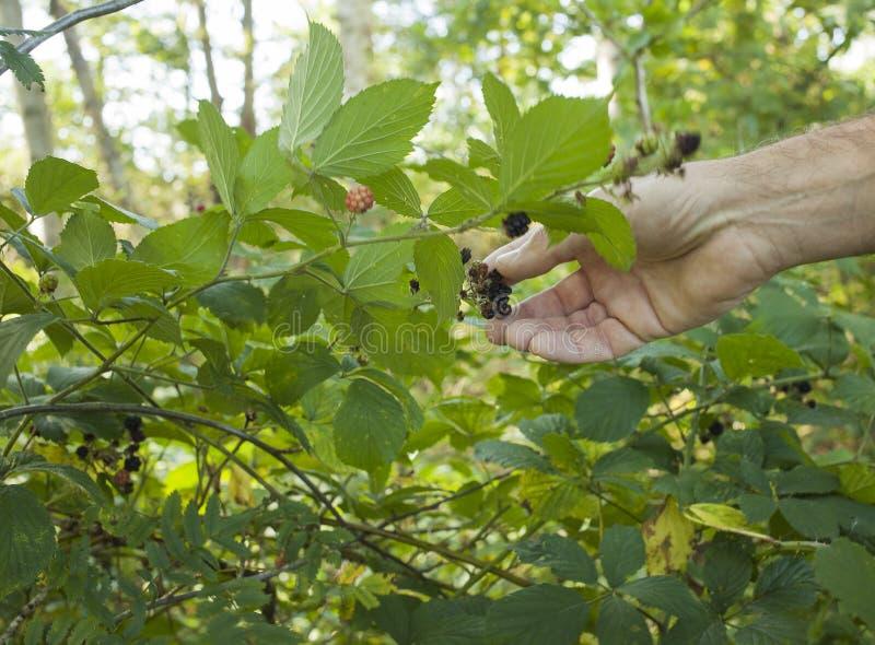 Picking blackberries royalty free stock images