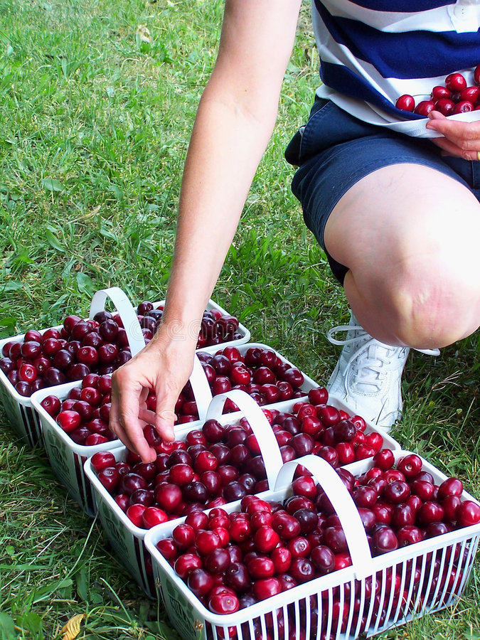 Download Picking cherries stock image. Image of cherry, sweet, fruit - 497825