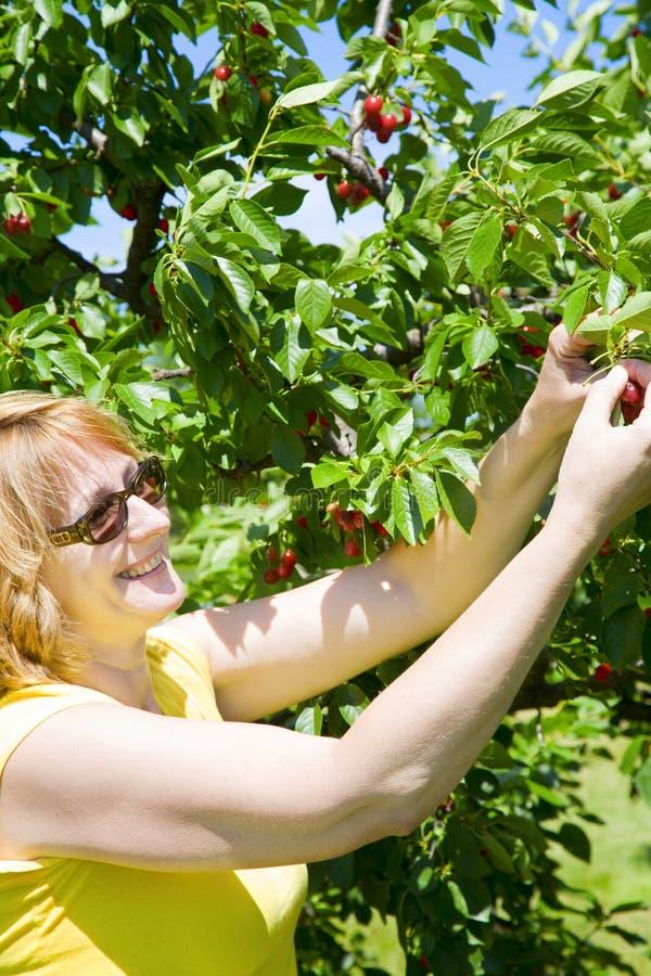 Download Picking cherries stock photo. Image of fruit, light, blue - 5877126