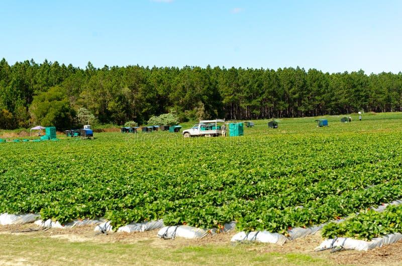 Picking fresh strawberries in strawberry farm royalty free stock photos