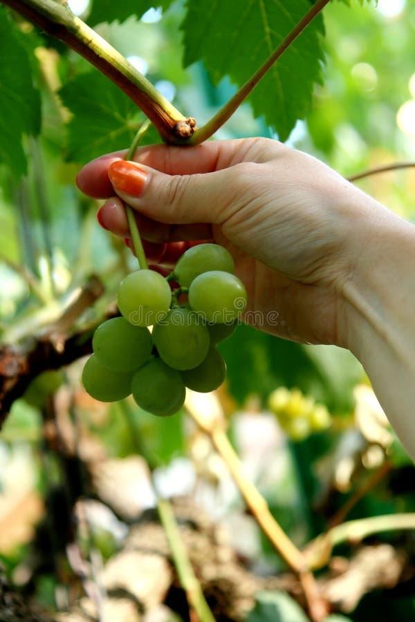Picking grapes royalty free stock image