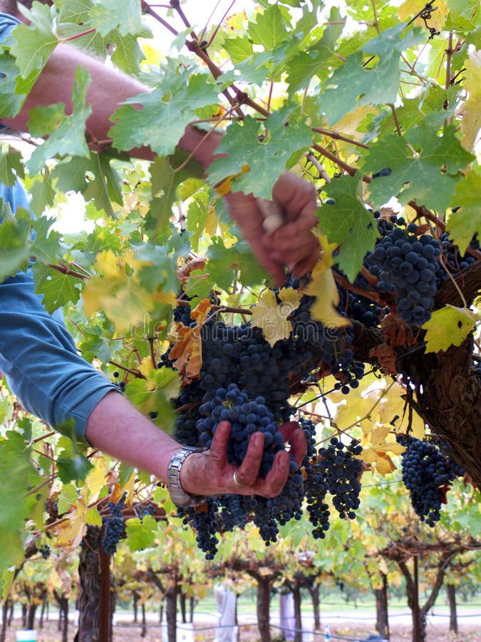 Download Picking grapes for wine stock image. Image of yellow - 16862291