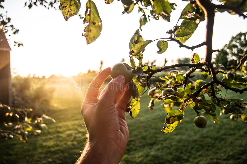 Picking Green Apples stock images