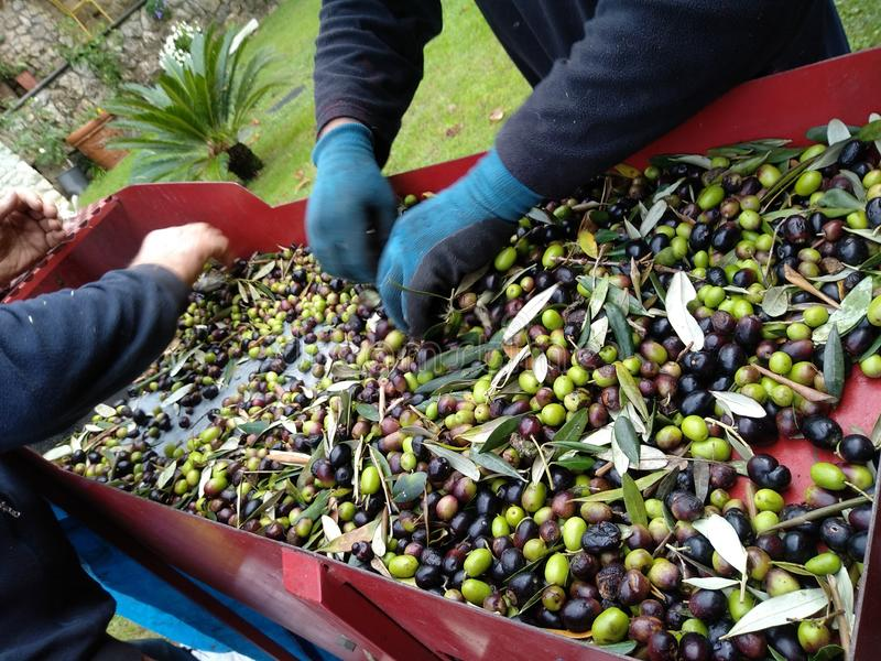 Picking green and black olives stock images