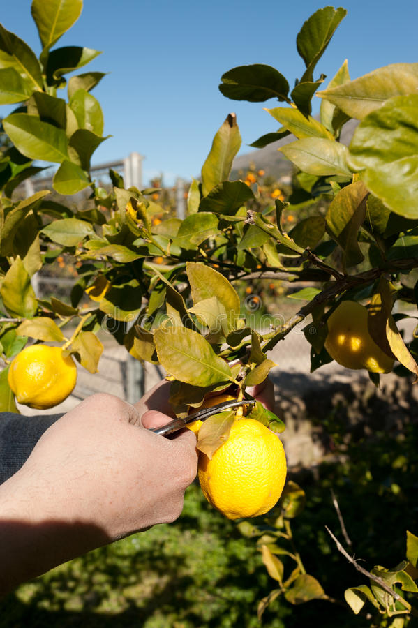 Picking lemons royalty free stock photo