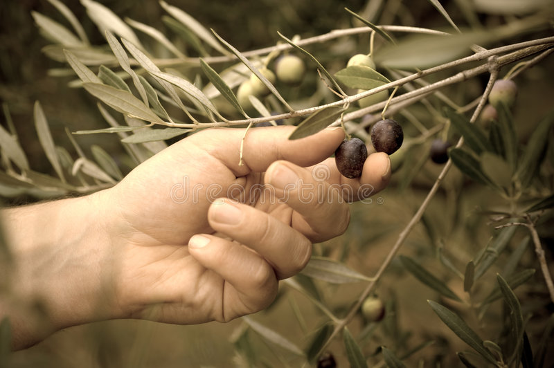 Picking olives royalty free stock images