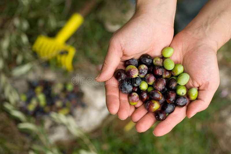 Picking olives stock photos