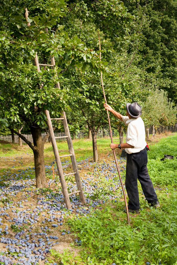 Download Picking plums stock image. Image of harvest, food, plants - 11117749