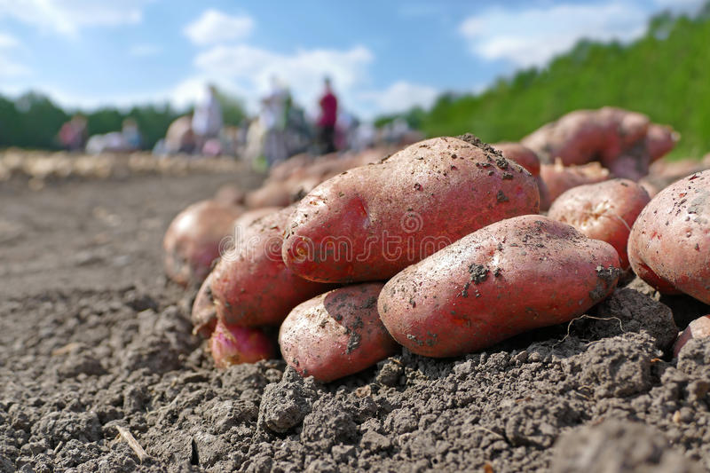 Picking potatoes on field. Harvesting potatoes on field, farm workers picking and transporting to the warehouse royalty free stock images