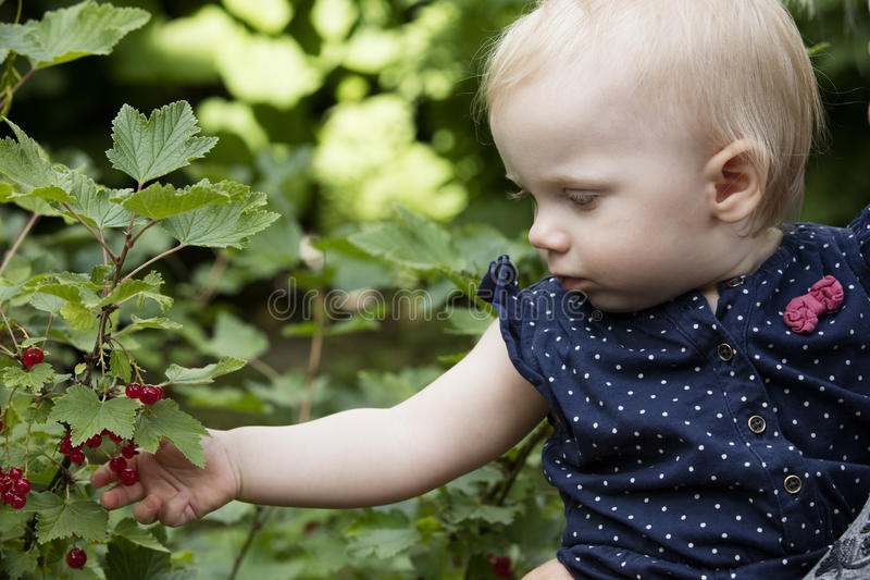 Picking redcurrant berries. stock image