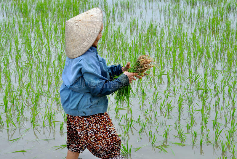 Download Picking  Rice editorial stock image. Image of crop, travel - 27432934