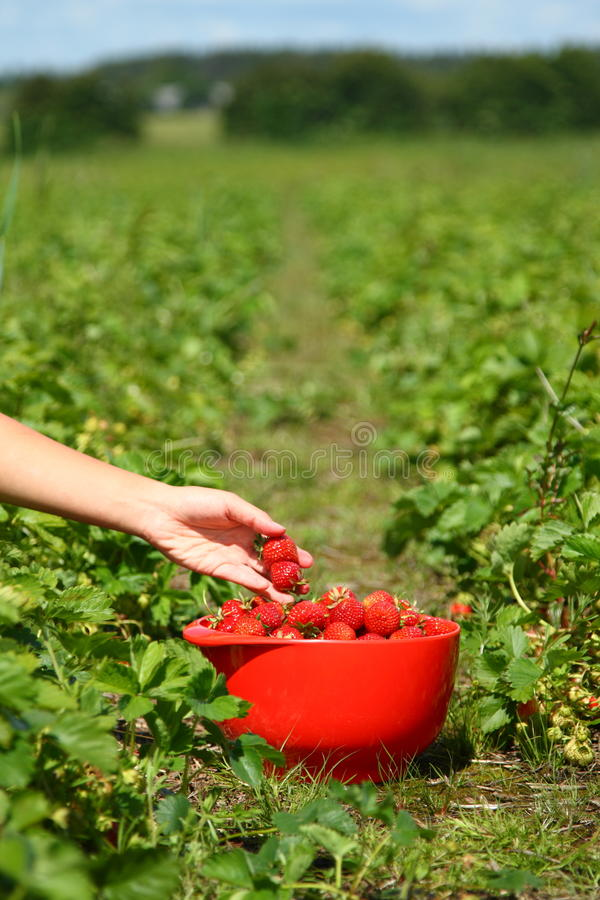 Picking Strawberries royalty free stock photography