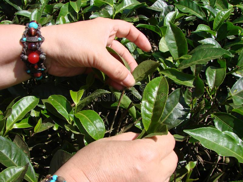 Picking tea leaves on Indian plantations. Summer. royalty free stock images