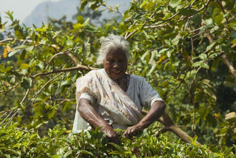Picking tea leaves stock photo