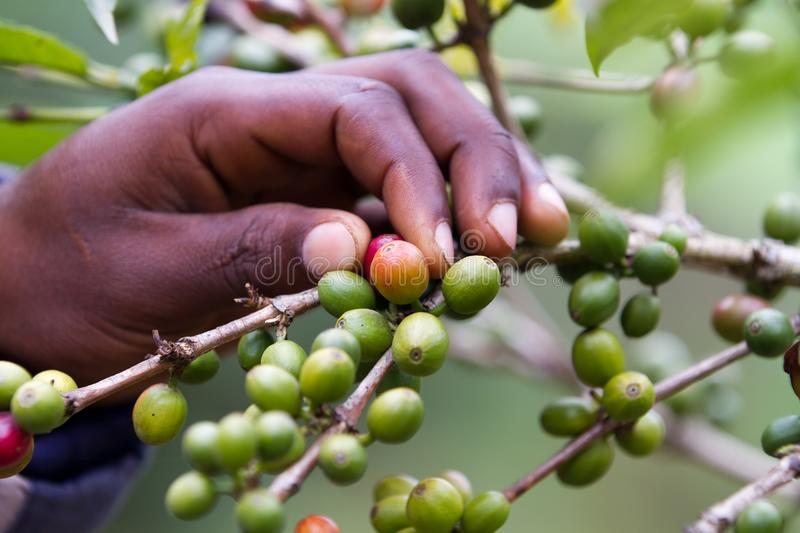 Picking up a coffee beans stock photography