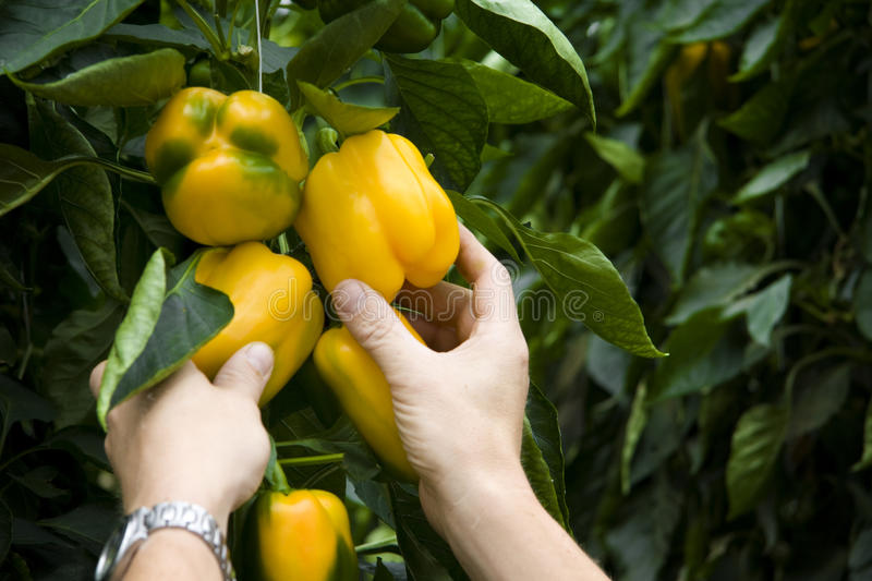Picking Yellow bell peppers stock photography