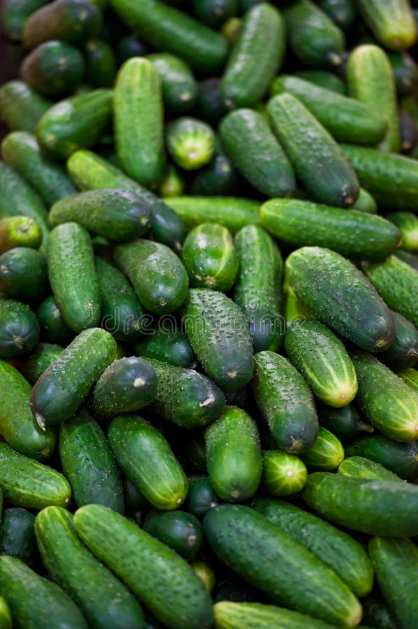 Pickling cucumbers. A pile of small pickling cucumbers stock photo
