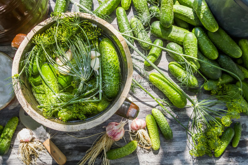 Pickling cucumbers in the countryside royalty free stock photography