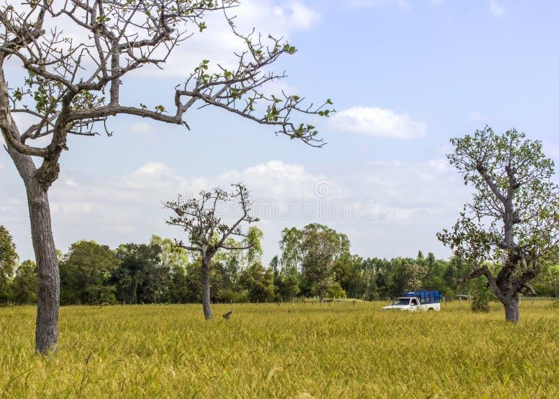Pickup w ryżu polu zdjęcia royalty free