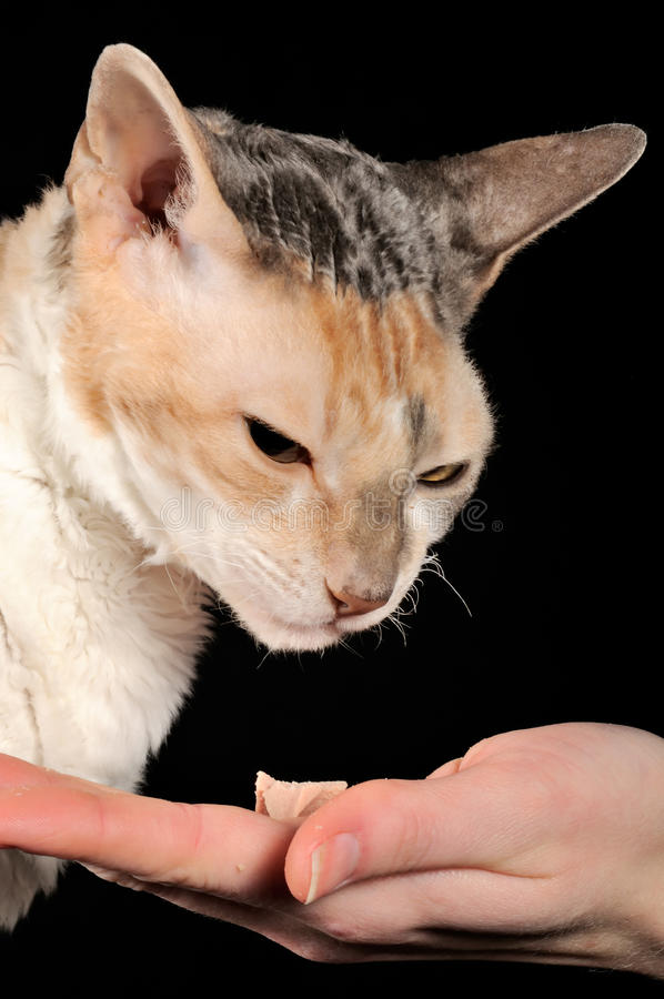 Picky Cat and Food Offered by Hand. A picky Cornish Rex cat and food offered by hand on a black background stock images