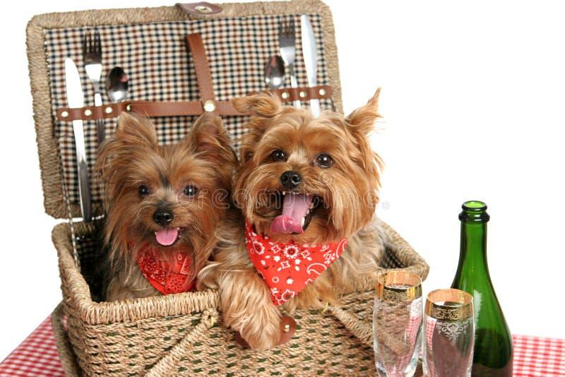 Picnic Basket of Puppies stock photo