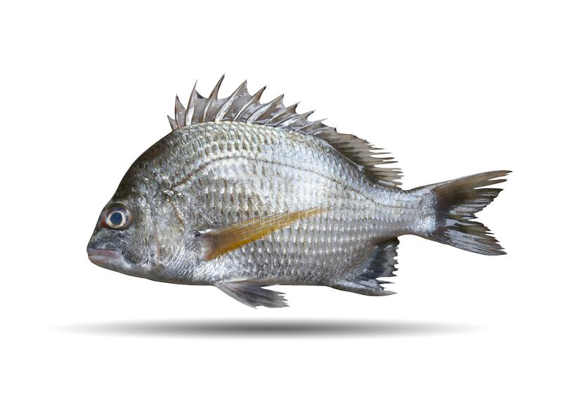 Picnic seabream or Sparidae fish isolated on white stock photo