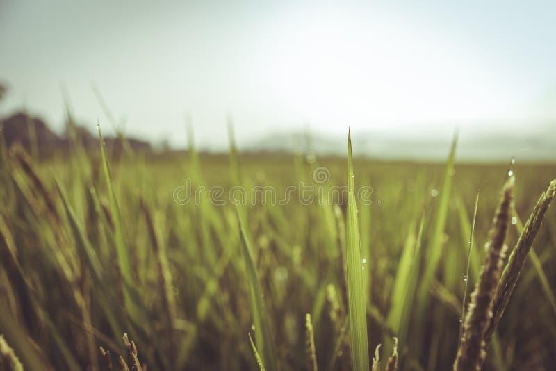 Pico del arroz en campo del arroz en el país local Tailandia imagenes de archivo