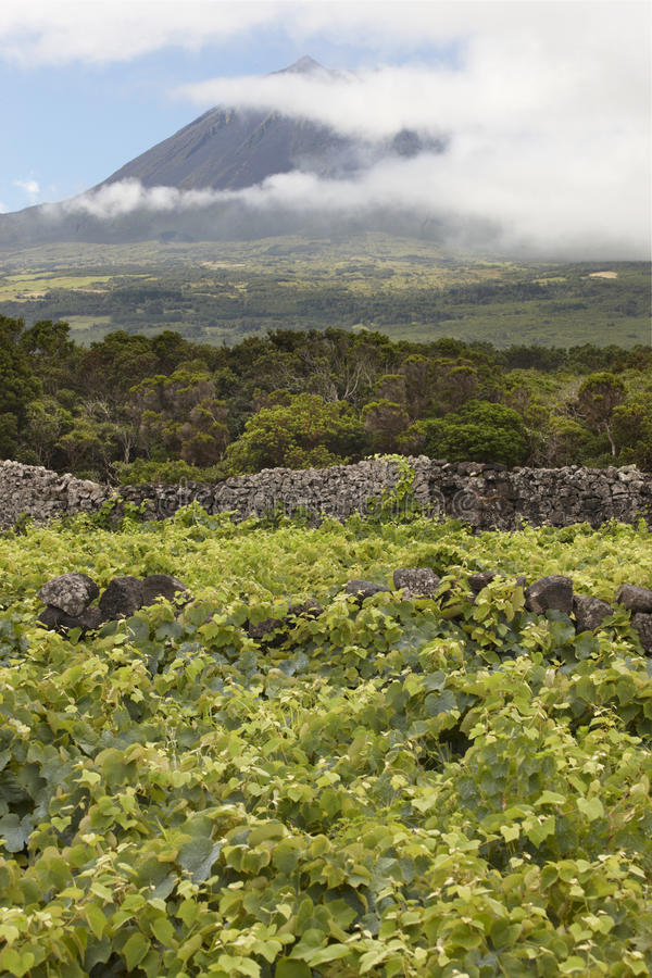 Pico island green landscape with peak and vineyard. Azores. Port. Ugal. Currais stock photos